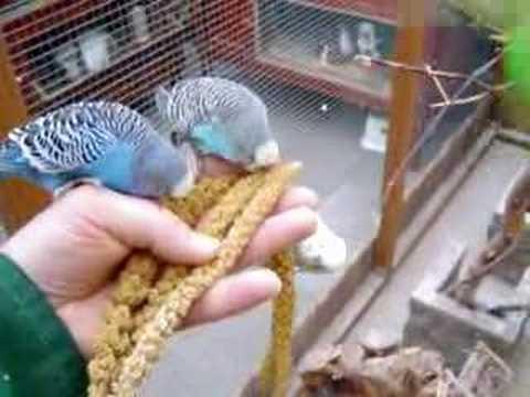 josnanny - Parakeets part 1
