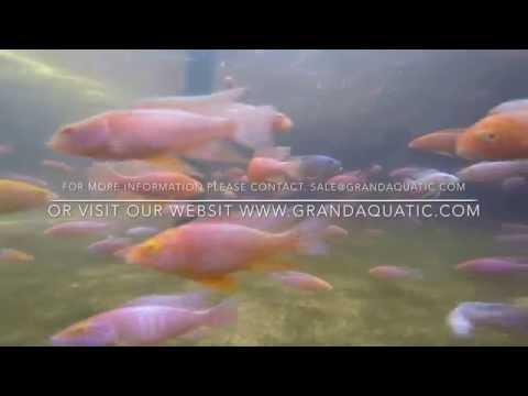 Malawe cichlid farm Thailand breeding and export
