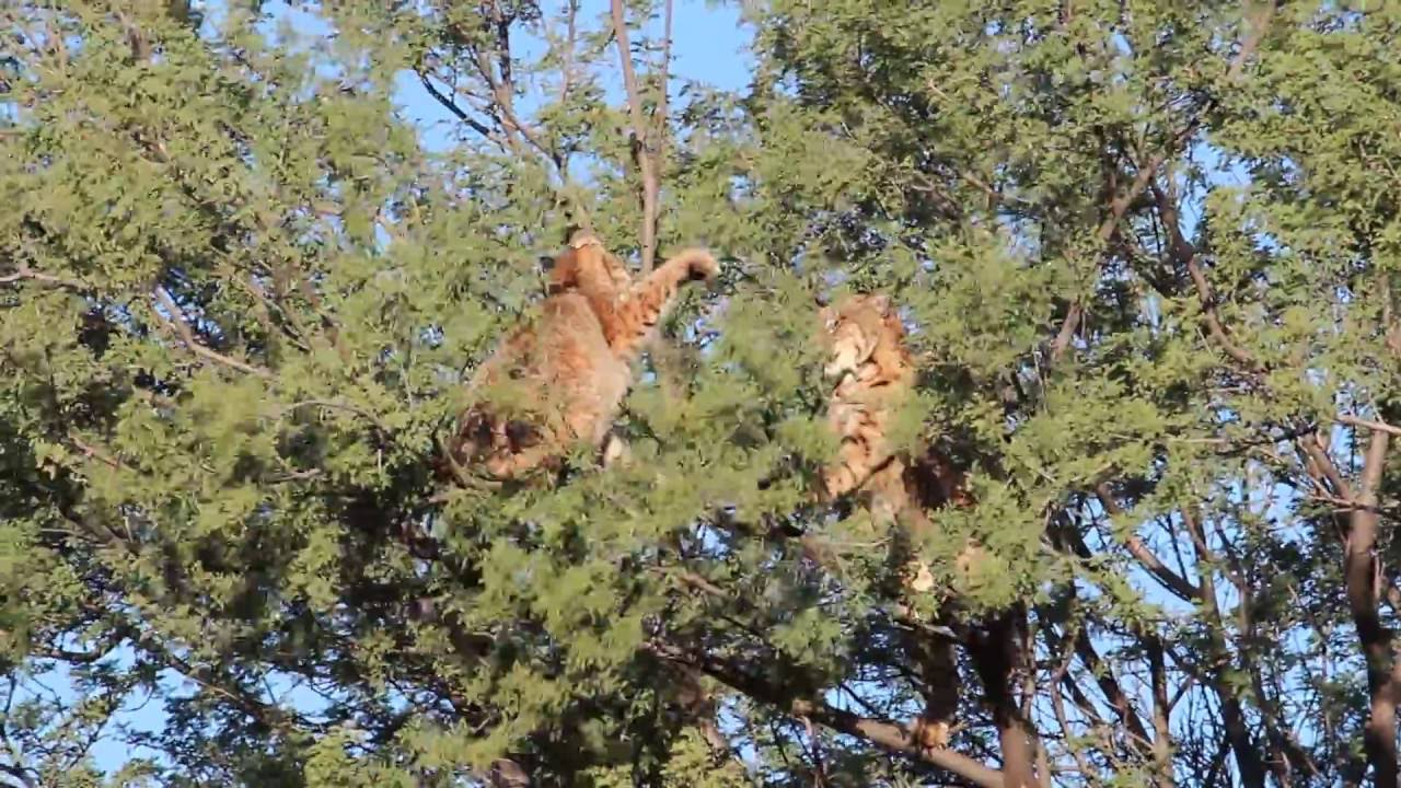 """Let's Take It To The Trees!"" Bobcats Fight High Off The Ground"