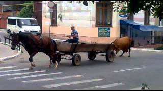 Кто сильнее... корова или конь? ржачка. Who is stronger ... a cow or a horse? laughter