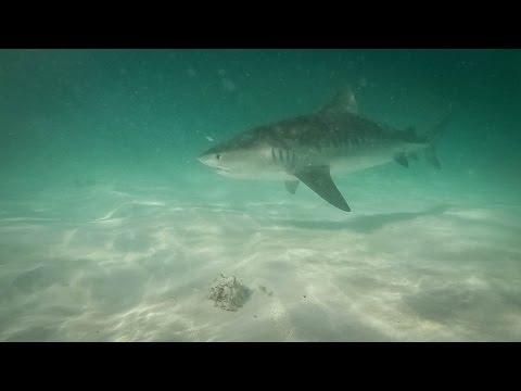 Grand Cay Bahamas Tiger and Nurse sharks