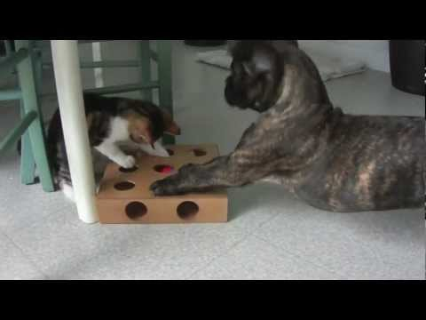 Boxer Dog And Cat Youtube