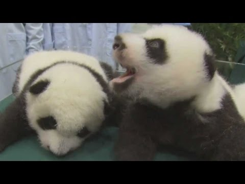 Adorable Panda Triplets Growing Up Fast! | TODAY