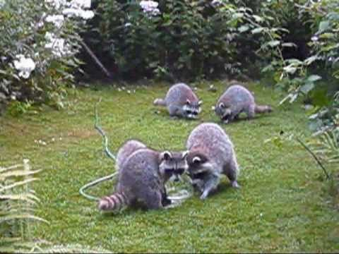 Raccoons playing with garden hose youtube How to keep raccoons out of garden