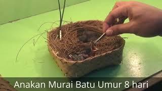 Perkembangan telur murai batu sampai usia 10 bulan | shama bird eggs until the age of 10 months
