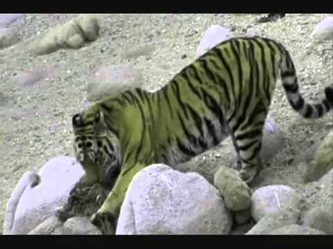 Siberian brown bear vs. siberian tiger
