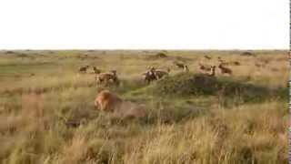 Hyenas vs Lion