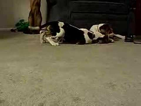 Tree Walker Coon Hound - pups Video