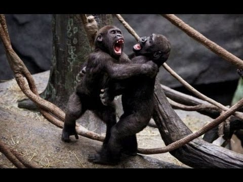 Angry Monkeys Fighting Funny Monkey Fighting