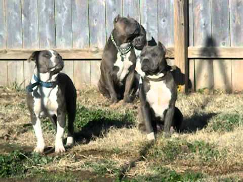 Real American Pit Bull Terriers! (ALL Under 65 lbs) READ DESCRIPTION FIRST!!
