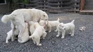 Щенки алабая alabai puppies sale  Gayar-Gayas