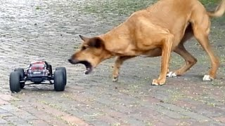Monster Truck RC vs. Amy (Podenco Mix gerettet aus Spanien)