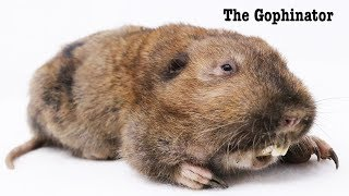 The GOPHINATOR Gopher Trap. - Mousetrap Monday.