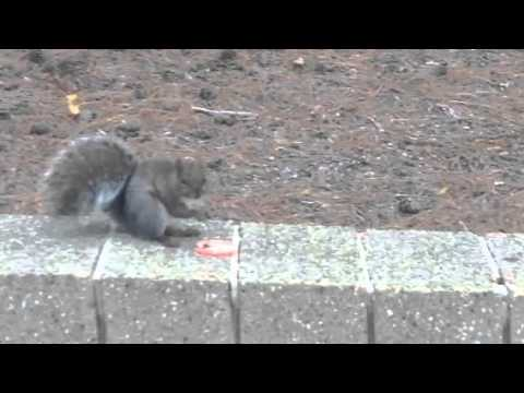 Friendly Squirrel Enjoys A Tomato at Macomb Community College
