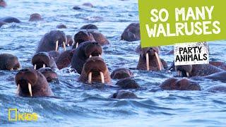 So Many Walruses   Party Animals