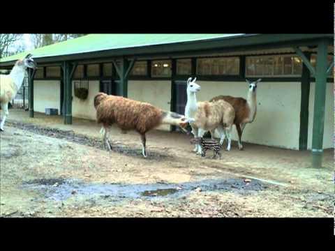 Zuid Amerikaanse tapir voor het eerst op de Pampa