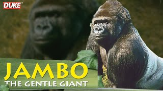 Jambo the Gorilla - The Gentle Giant - Documentary