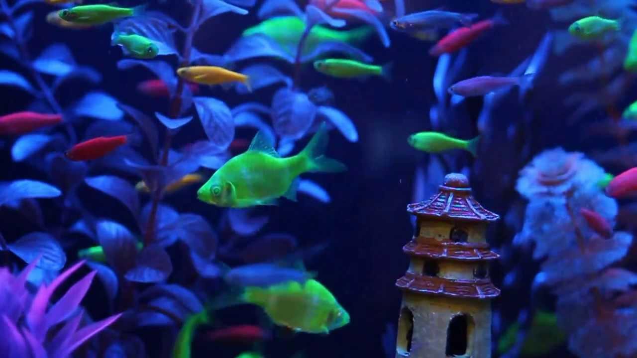 Glofish fluorescent fish video includes our new glofish for Glow in the dark fish tank