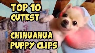 TOP 10 CUTEST CHIHUAHUA CLIPS OF ALL TIME
