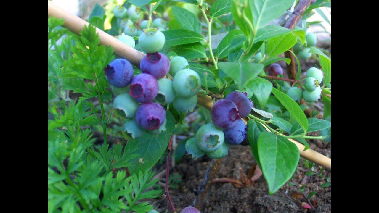 Клюква: сорта, выращивание и уход 90