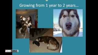 The Full Growth of a Giant Alaskan Malamute