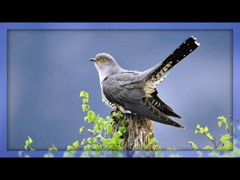 ❀ Cuckoo Bird