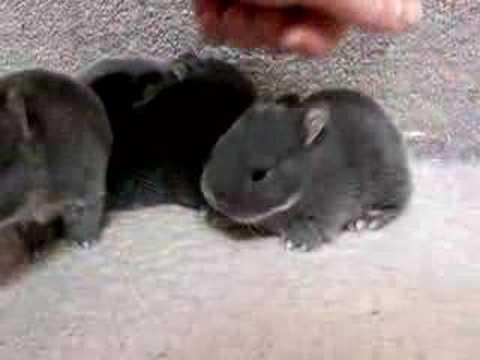 Netherland Dwarfs 2 Weeks Cute & Fluffy Bunny Rabbits ...