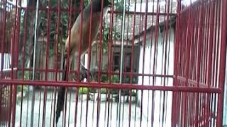 Download Lagu Cendet kampung Gratis STAFABAND