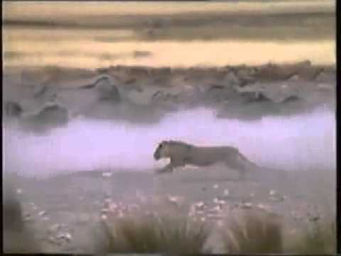 Aslan Zebra Saldırı Lion Attack Zebra video