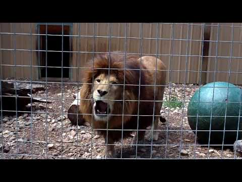 Lion Roar video