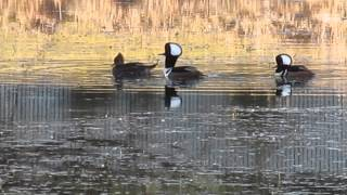 Hooded merganser  Tarakdiş