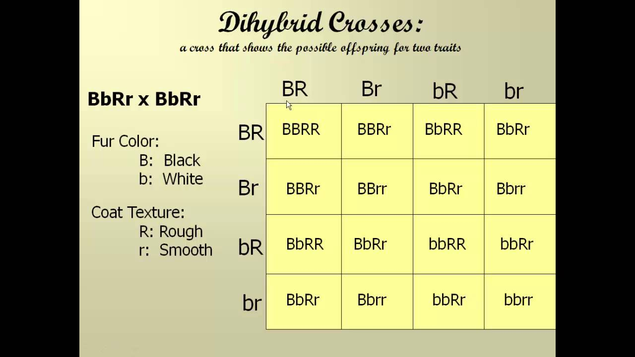 lab dihybrid crosses Dihybrid corn lab, chi-square test, probability lab laboratory 6 by studying the concepts of chi-squared, punnett squares, and probabilities of outcomes in mono-hybrid and dihybrid crosses, we are able to clearly see how these topics interrelate.