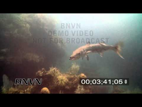 7/21/2007 Aggressive Barracuda stock footage
