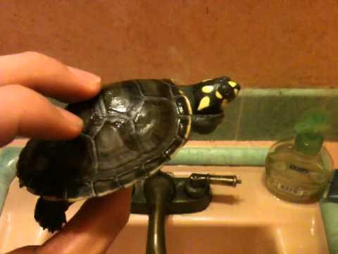 Yellow Spotted Amazon Podoc River Turtle Care Video