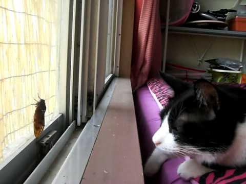 蝉と猫 ぶち君、蝉をちょいちょい♪CAT