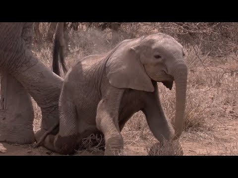 Elephant Calf Starves To Death Due To Draught - Africa - BBC