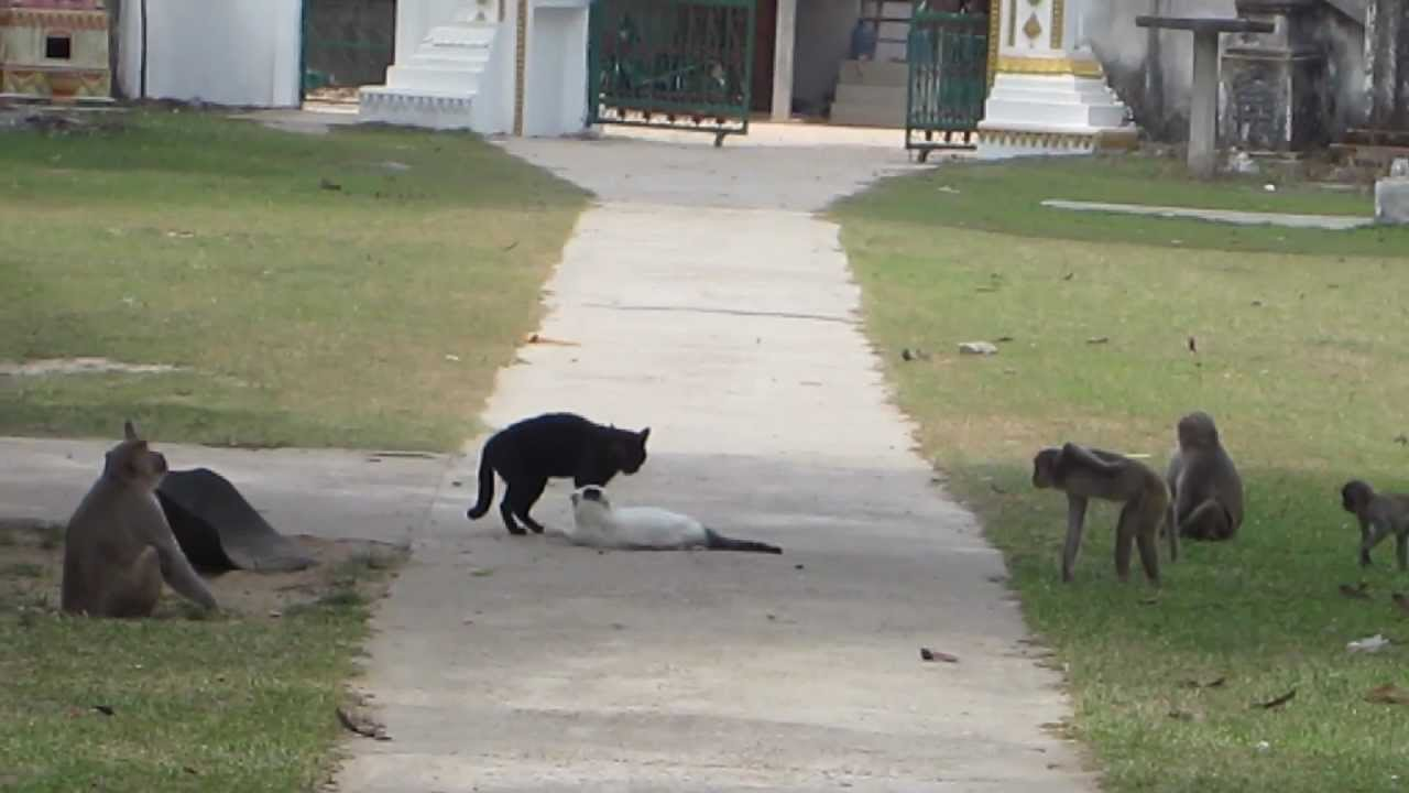 Angry Monkeys Fighting Monkeys Break up Cat Fight