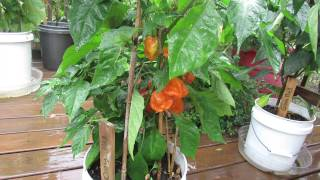 Introducing 5 Great Container Peppers Ready for Harvest: My 1st Vegetable Garden - MFG 2013.