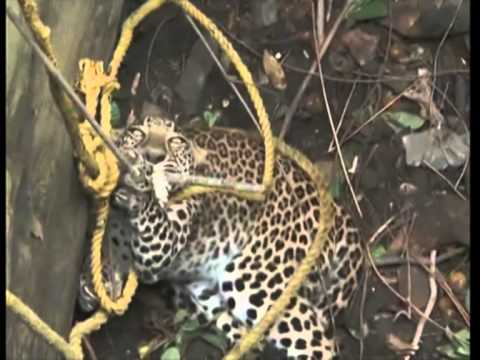 : Leopard rescued from well in western India
