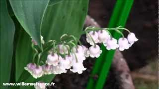 Muguet Blanc Et Rose - Willemse
