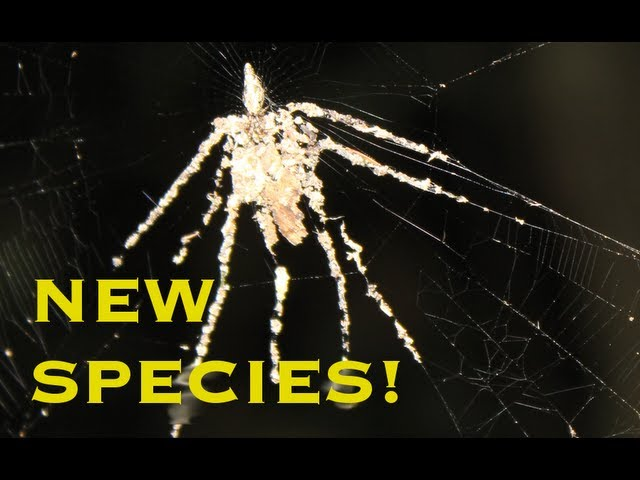 FIRST VIDEO OF NEW SPIDER SPECIES! - Smarter Every Day 78