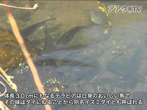 アアク8TV水中映像×Goovie 岐阜県の魚類10 外来種3