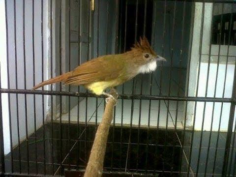 Burung Master : Cucak Jenggot Mapan Gacor