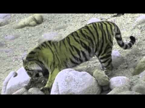 Siberian tiger kills brown bears [Read Description]