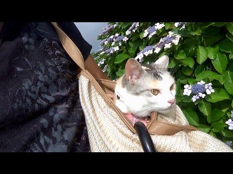 猫散歩、梅雨のアジサイロード 後編