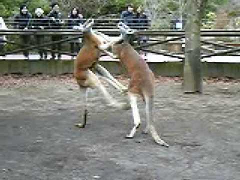 a kangaroo kicks a kangaroo in Safari park vol.2