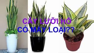 CÂY LƯỠI HỔ có mấy loại _ How many kind of snake plant - Cây Phong Thủy
