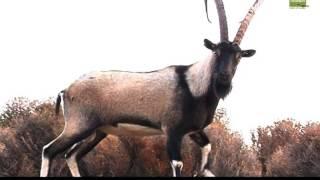 Κρί Κρί-Ο κρητικός αίγαγρος