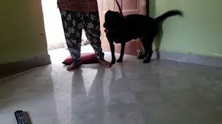 Labra dog champion line female for sale🐕🐕 A S dog kennel🐕🐕