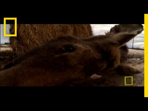 Ticks Can Kill Moose? Video